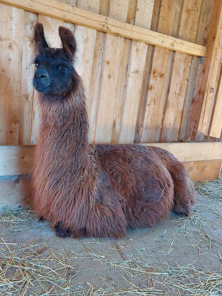Lama Funny